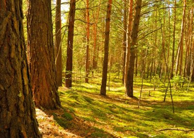 trees-forest-nature-pine-moss